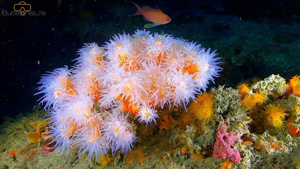 Coral Candelabro